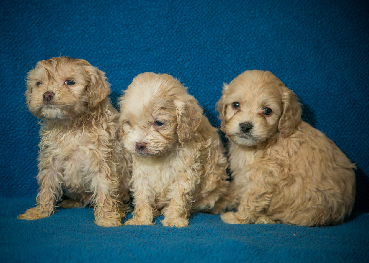 Dogs For Sale Cockapoos Poodles Cocker Spaniel Puppies For Sale